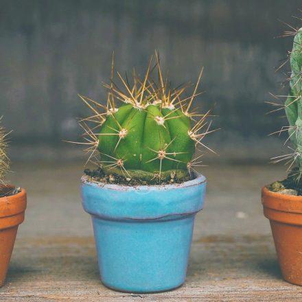 ¿Porqué los cactus son tu mejor aliado?